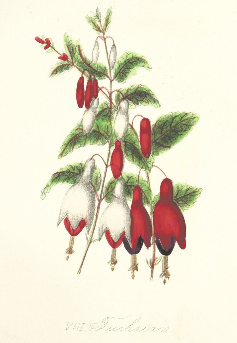 Fuchsias by The British Library