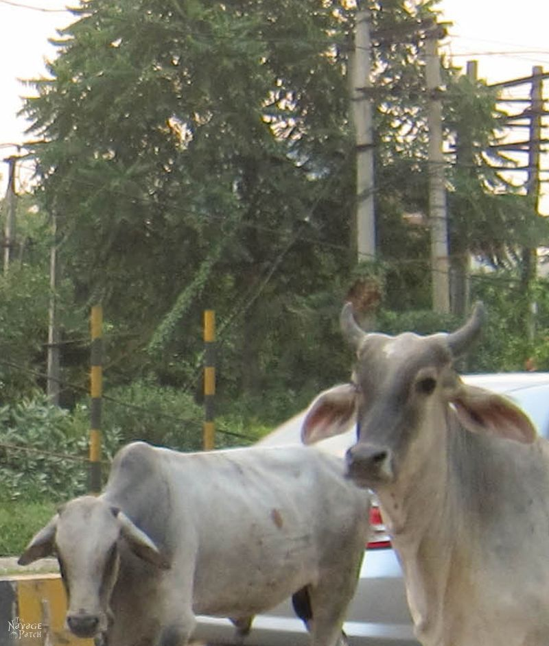 India - Part 2: Holy Cow(s)   TheNavagePatch.com