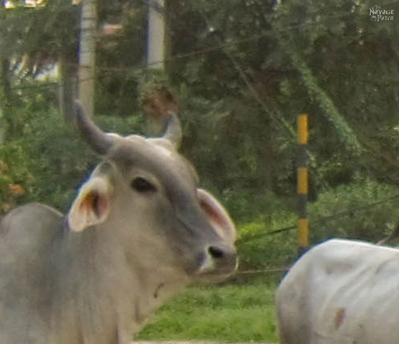 India - Part 2: Holy Cow(s) | TheNavagePatch.com