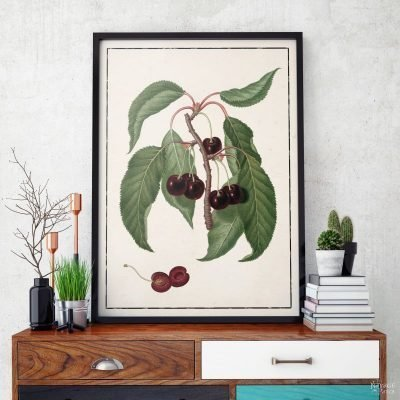 Vintage Botanical Prints - Summer Fruit Printables | Free printable vintage botanical illustrations | Vintage fruit printables | Vintage art prints | #TheNavagePatch #illustration #vintage #freeprintable #diy #gallerywall #knockoff #ballarddesigns #botanical #homedecor | TheNavagePatch.com