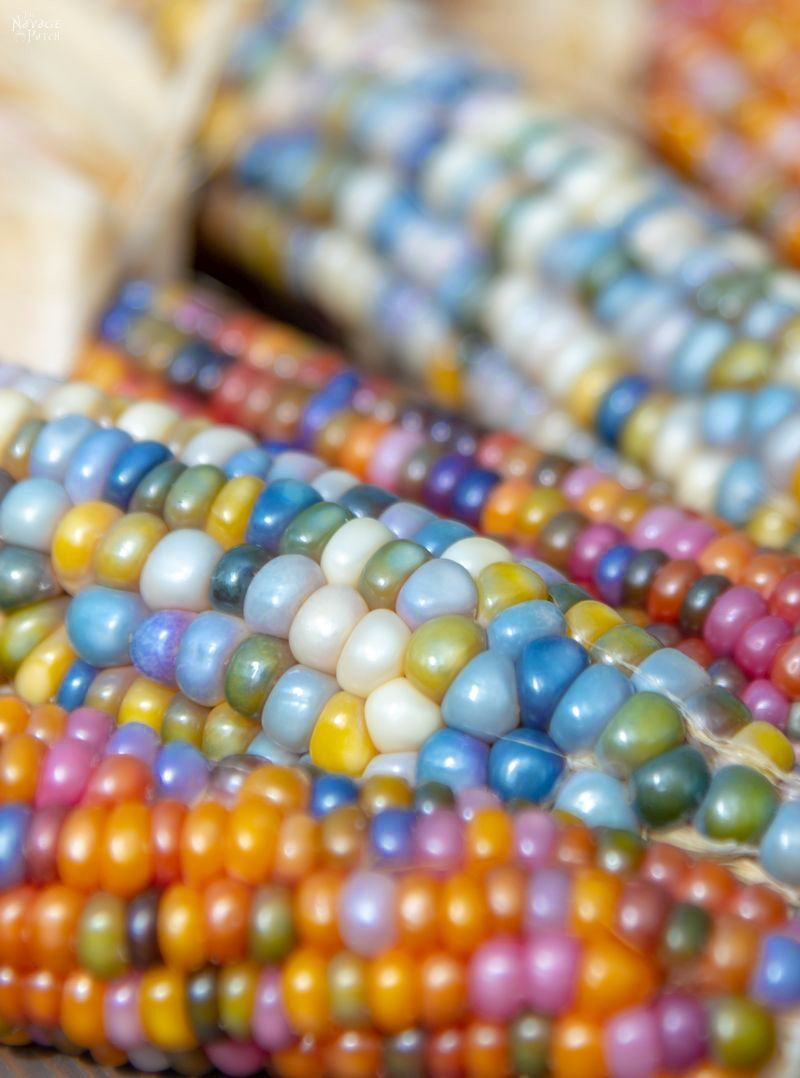 Glass Gem Corn - Rainbow on a cob. If unicorns had gardens, they'd grow Glass Gem corn. | #TheNavagePatch #Homesteading #DIY #HowTo #Indiancorn #Falldecor | TheNavagePatch.com