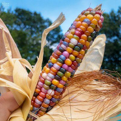 Glass Gem Corn – Rainbow on a Cob!