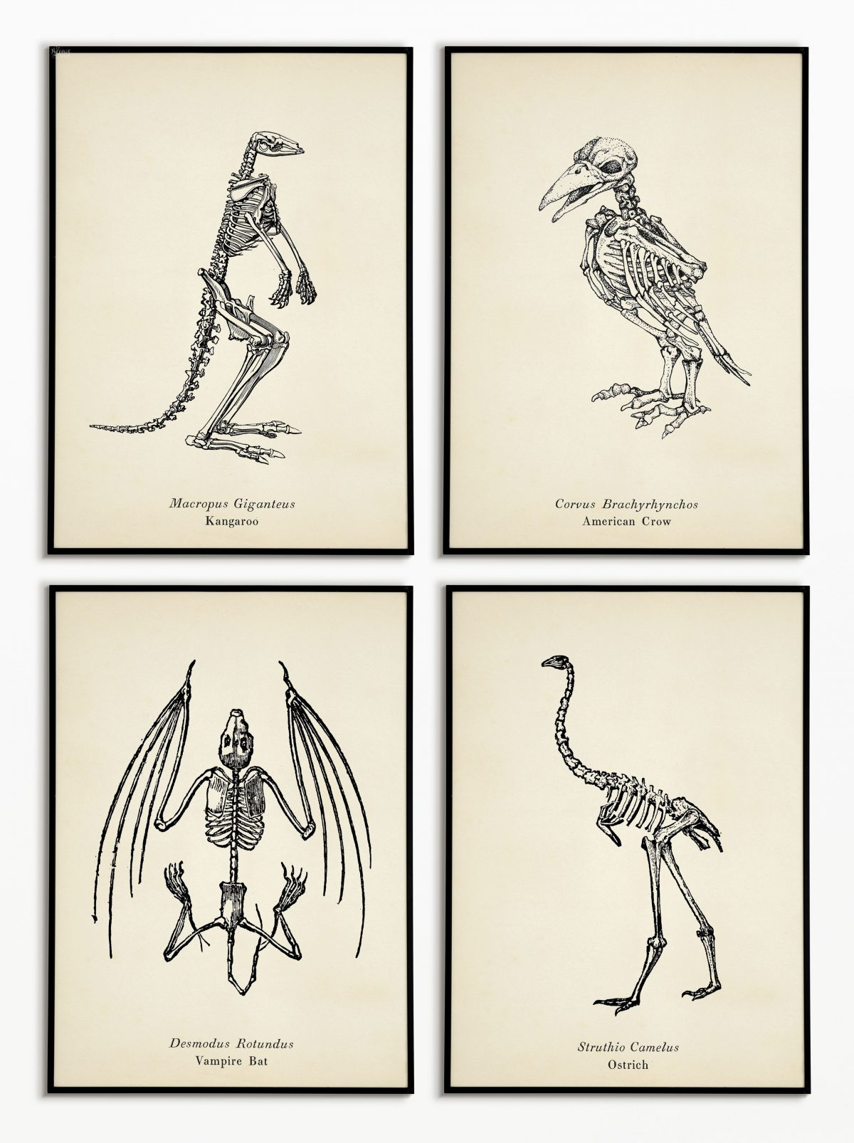 photograph about Free Printable Skeleton identify 10+ Cost-free Animal Skeleton Printables (Traditional Layout) - The