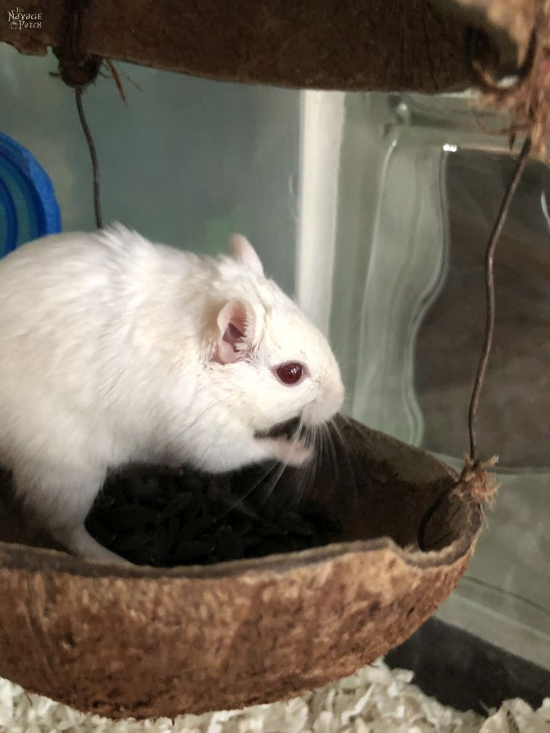 Meet the Gerbils   How to create the perfect house for gerbils   What to have in a perfect gerbil cage   #TheNavagePatch #gerbilcage #howto #gerbilcare   TheNavagePatch.com