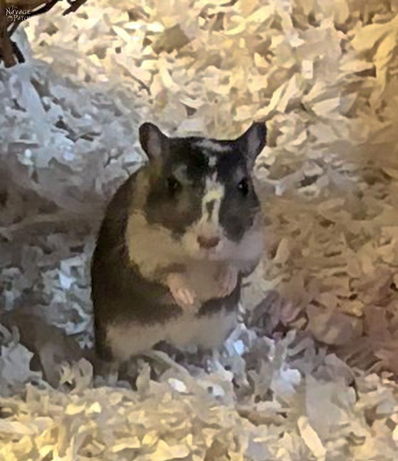 Meet the Gerbils | How to create the perfect house for gerbils | What to have in a perfect gerbil cage | #TheNavagePatch #gerbilcage #howto #gerbilcare | TheNavagePatch.com