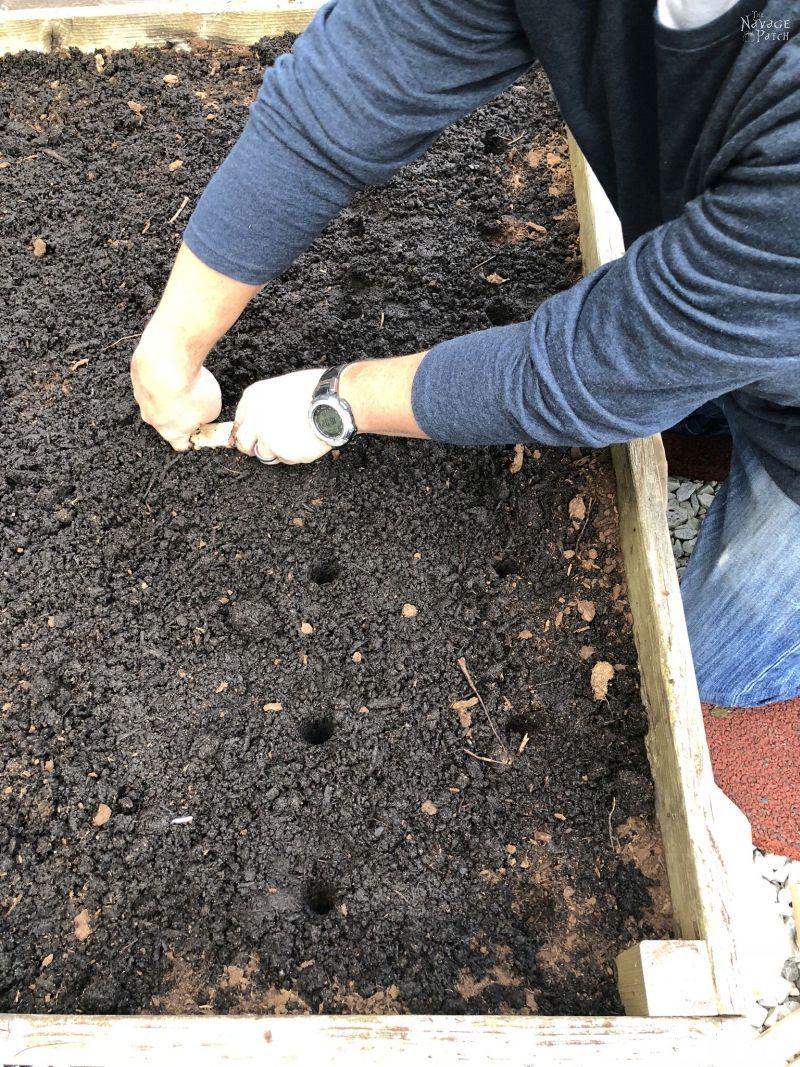 poking holes in soil for planting garlic