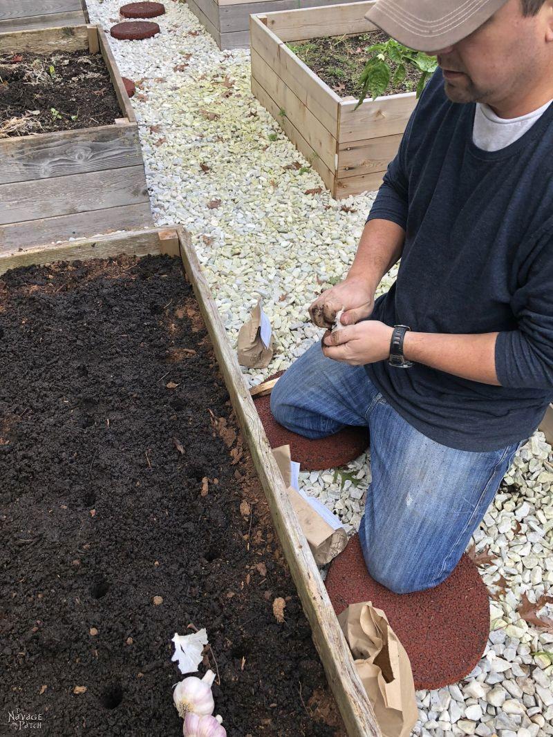 breaking apart bulbs of garlic to plant