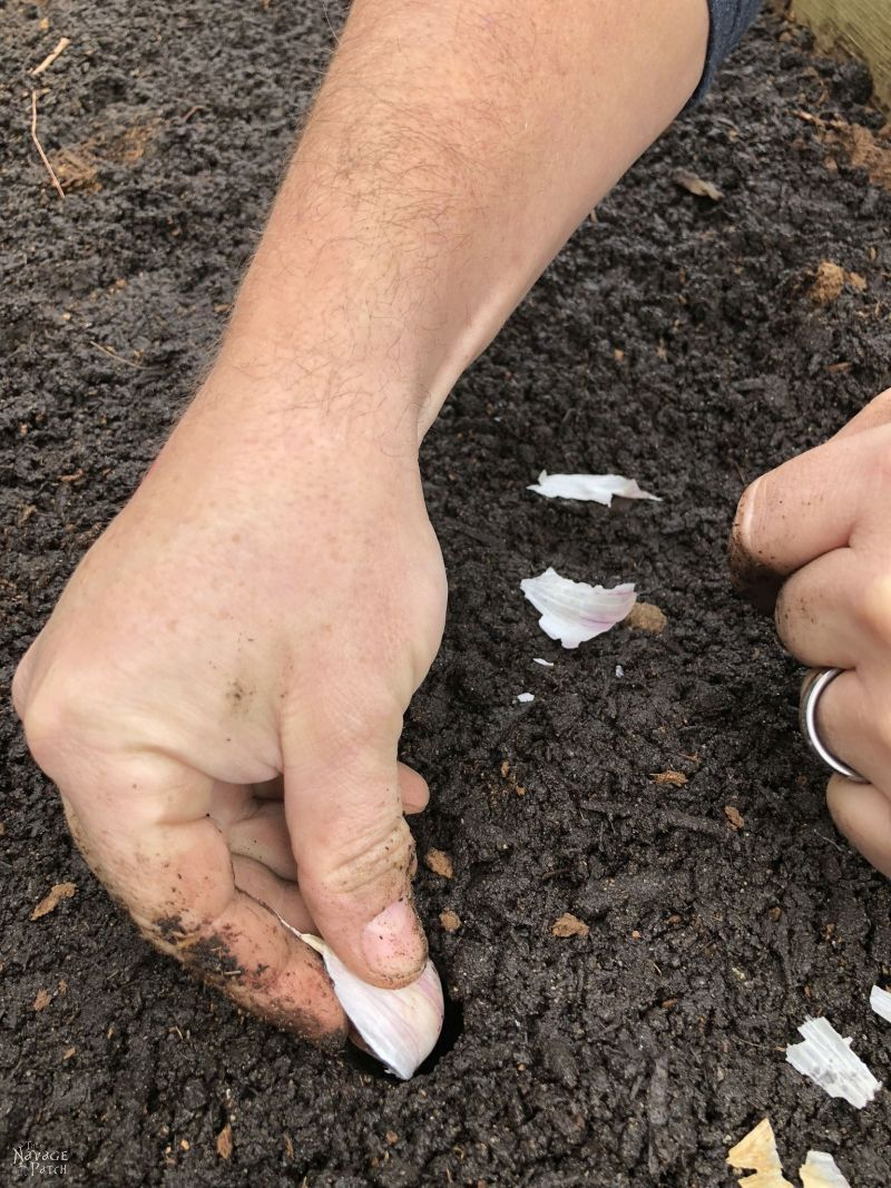 planting a clove of garlic