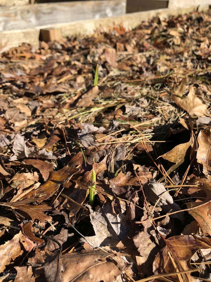 young garlic shoots growing through mulch