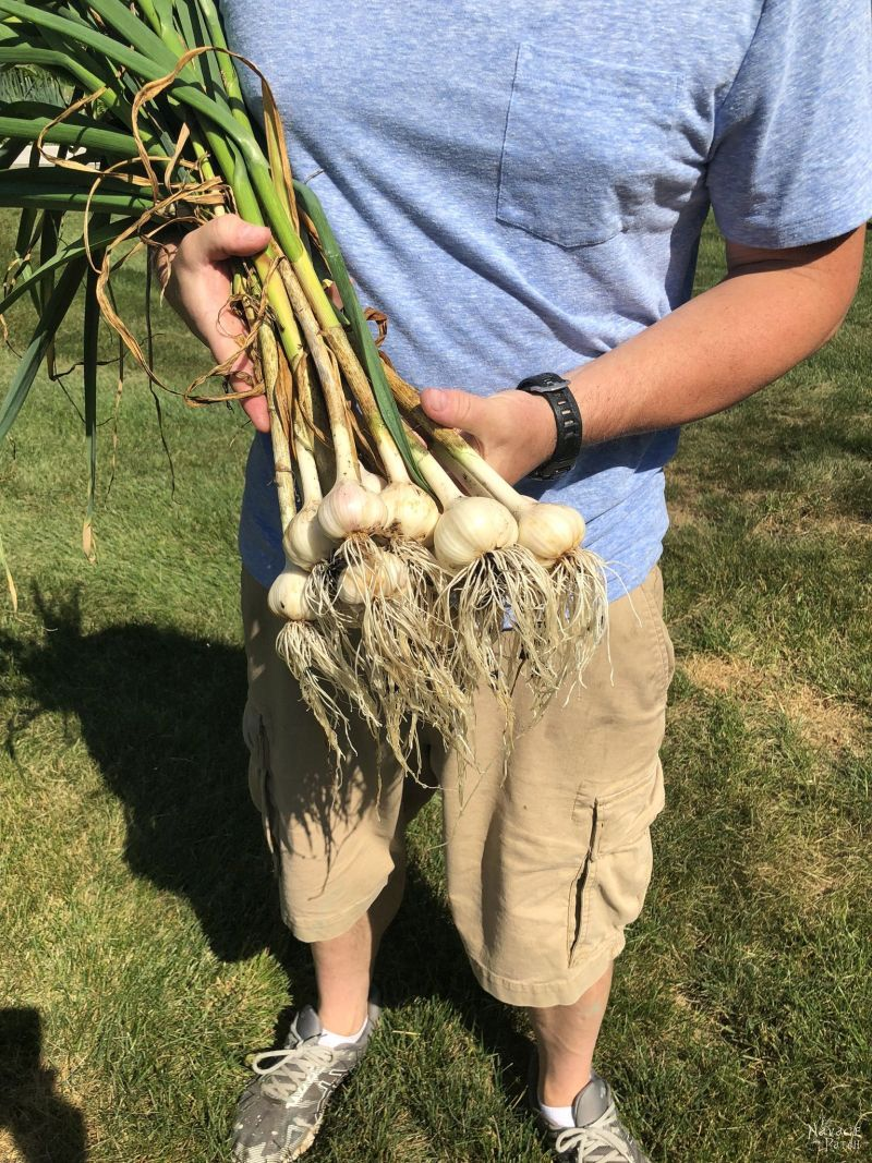 bunch of harvested garlic plants