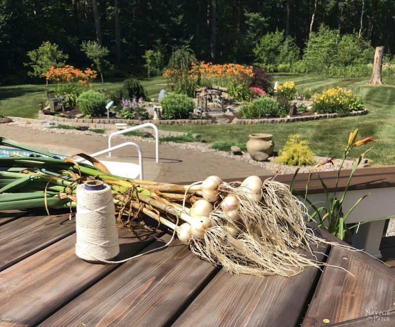 bunch of harvested garlic on a table