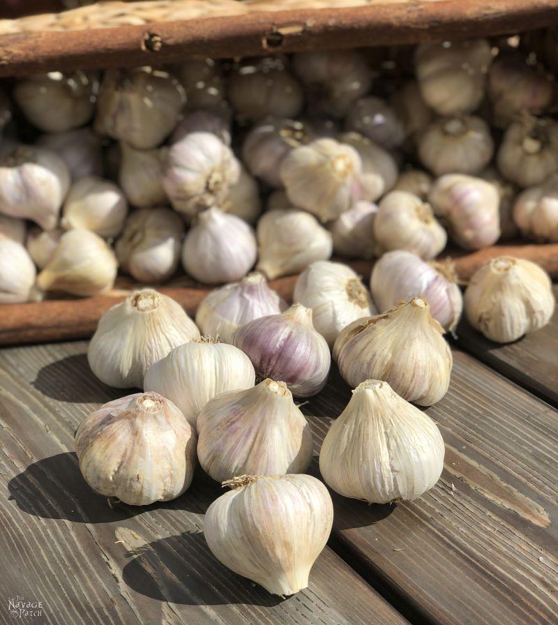 home grown garlic bulbs