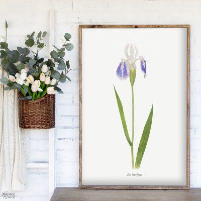 Free Printable Vintage Iris Illustrations - TheNavagePatch.com